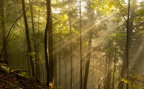 Picture forest, the sun, rays, trees, nature, morning