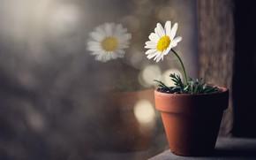 Picture flower, window, pot