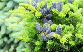 Picture branches, nature, spruce, green, needles, bumps, coniferous, spruce