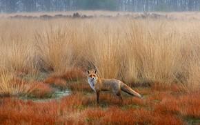 Picture autumn, the steppe, Fox, Fox