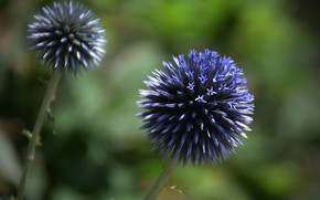 Picture Flowers, Echinops, Blue flowers, Blue flowers