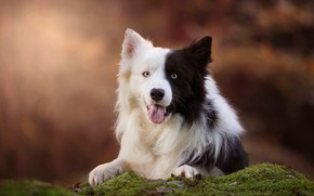 Picture language, look, face, nature, background, moss, black and white, portrait, dog, lies, blue eyes, bokeh, …