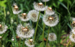 Picture fluff, weed, dandelions