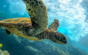 Picture the ocean, turtle, Green turtle