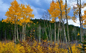Picture autumn, forest, leaves, trees, foliage, yellow, crown, autumn, aspen