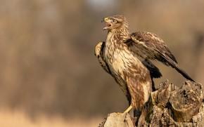Picture bird, predator, Sarich, common Buzzard