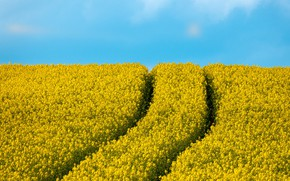 Picture road, flowers, yellow, track, blue sky, rape, rapeseed field