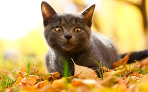 Picture autumn, cat, look, kitty, cat