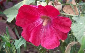 Picture flower, red, mallow, Meduzanol ©