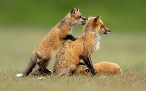 Picture look, background, glade, two, baby, Fox, pair, profile, Fox, a couple, cub, mom, Fox, Fox