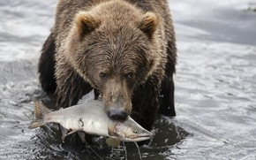 Picture nature, fish, bear, hunting