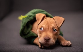 Picture look, clothing, dog, red, costume, hood, puppy, lies, blouse, face, pit bull, bokeh, pit bull …