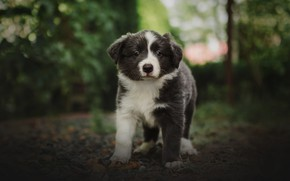 Picture greens, summer, look, nature, grey, dog, baby, puppy, bokeh, Aussie