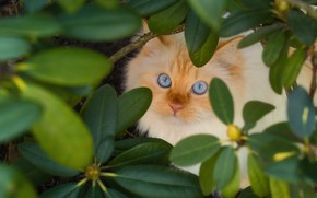 Picture cat, cat, look, leaves, branches, Bush, garden, blue eyes, face, view, Peeps, rhododendron, red & …