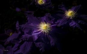 Picture purple, clematis, clematis