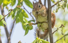 Picture animal, rodent, leaves, tree, Chipmunk, branches