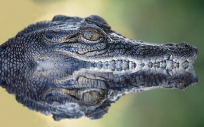 Picture look, face, water, reflection, portrait, teeth, crocodile, mouth