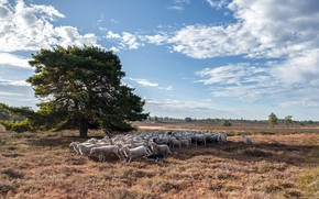 Picture field, nature, tree, sheep, dog, the herd