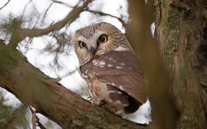 Picture look, branches, tree, owl, bird, bokeh, owl, sychik