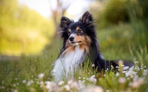 Picture greens, forest, summer, grass, look, face, pose, Park, glade, black and white, portrait, chamomile, dog, ...