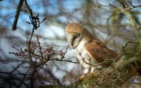 Picture pose, look, background, owl, nature, blur, tree, bokeh, bird, bitches, branches, the barn owl