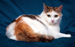 Picture cat, white, eyes, cat, look, blue, kitty, background, sweetheart, yellow, tail, cute, fabric, lies, kitty, ...