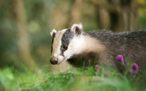 Picture greens, look, face, nature, background, portrait, flowers, badger