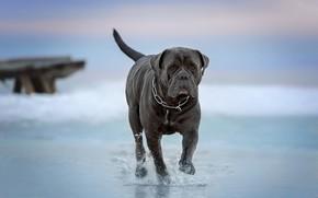 Picture water, dog, walk, Cane Corso, Ирина Ковалёва