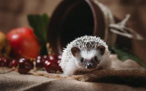 Picture needles, cherry, background, apples, muzzle, fabric, pot, animal, hedgehog, fruit, still life, burlap, cherry, hedgehog, …