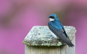 Picture bird, pink background, swallow