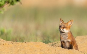 Picture sand, look, nature, pose, Fox, face, sitting, looking up, Fox