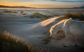 Picture sand, white, the sky, grass, face, light, nature, horse, hills, horse, dunes, walk, Iceland, grazing, ...