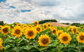 Picture field, clouds, hills, sunflower