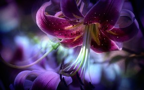 Picture Flower, Lily, Petals