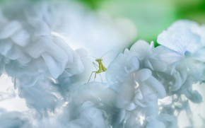 Picture macro, flowers, green, background, light, blur, mantis, insect, white, flowering, bokeh
