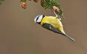 Picture bird, branch, needles, bumps, tit
