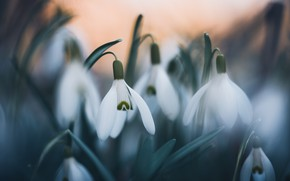Picture flowers, the dark background, spring, snowdrops, white, primroses