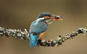 Picture background, bird, moss, fish, branch, beak, bird, lunch, mining, Kingfisher, bright plumage, bird