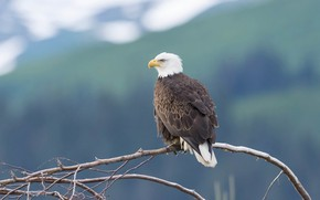 Picture mountains, branches, background, tree, bird, bald eagle
