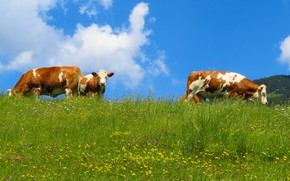 Picture greens, field, summer, the sky, grass, face, clouds, flowers, nature, blue, blue, glade, cow, yellow, …