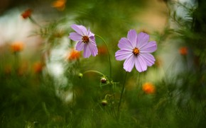 Picture summer, grass, flowers, nature, buds, cosmos