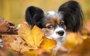 Picture autumn, look, leaves, foliage, portrait, dog, muzzle, puppy, face, dog, cutie, baby, decorative, Papillon, Papillon