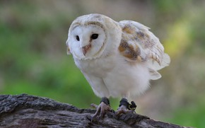 Picture background, owl, bird, white, log, the barn owl