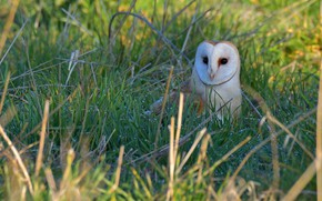Picture grass, look, owl, bird, glade, the barn owl