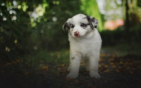 Picture greens, white, summer, look, leaves, background, dog, baby, puppy, bokeh, Aussie