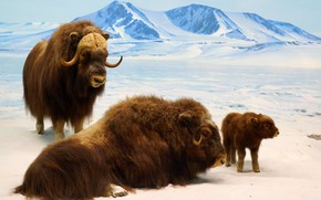Picture ice, nature, mountain, cold, bison, bison cub