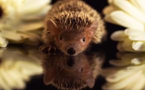 Picture look, flowers, reflection, chamomile, nose, barb, muzzle, black background, hedgehog, hedgehog, hedgehog, the best