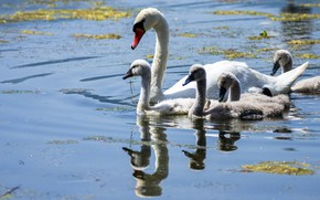 Picture white, water, light, birds, lake, pond, reflection, family, bathing, Swan, white, company, swans, mom, Chicks, …