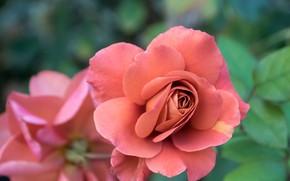 Picture macro, rose, petals