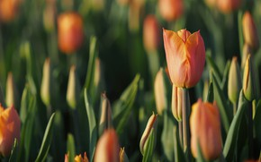 Picture field, flower, flowers, Tulip, spring, tulips, orange, buds, a lot